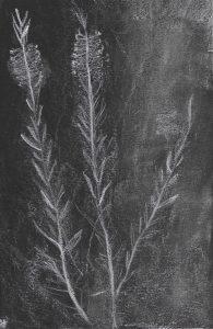 teatree melaleuca altanifolia1
